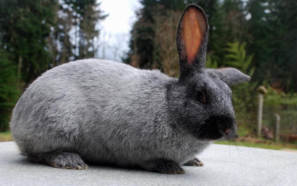 Champagne D Argent Rabbit