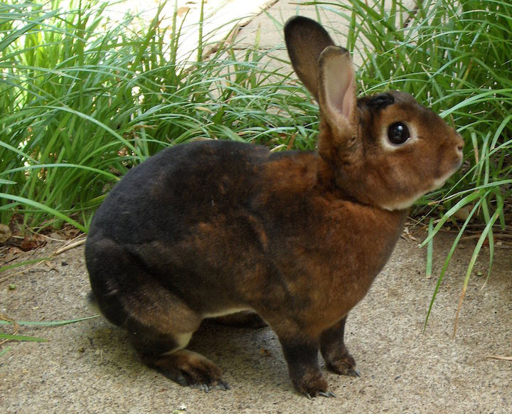 Cinnamon Rabbit