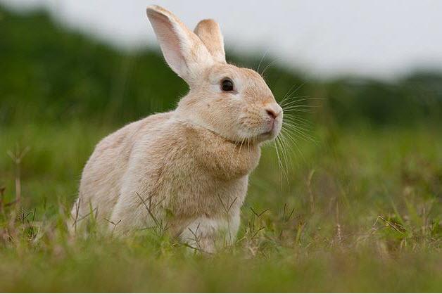 Creme D Argent Rabbit