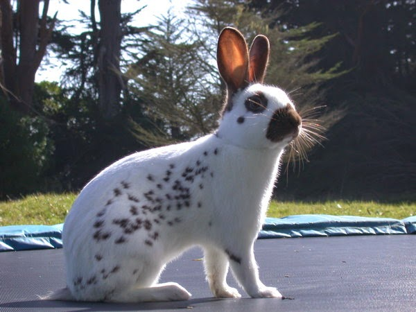 English Spot Rabbit