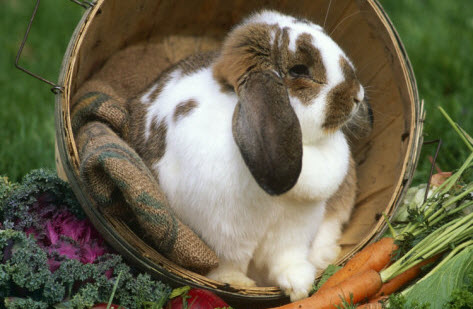 French Lop Rabbit