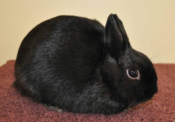 Polish Rabbit