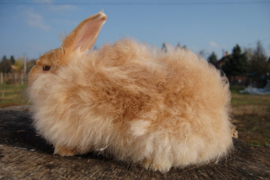 Satin Angora Rabbit