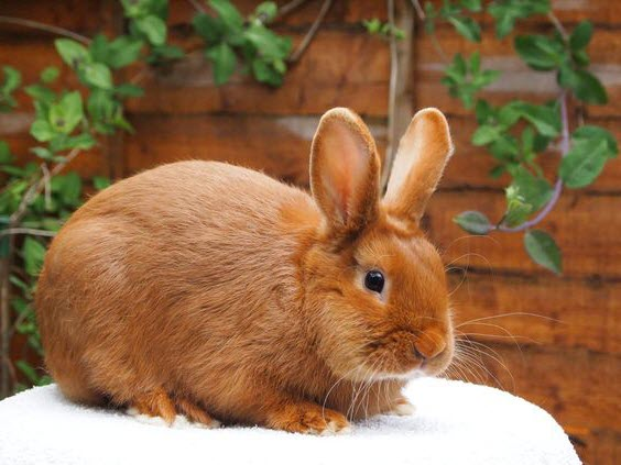 Thrianta Rabbit